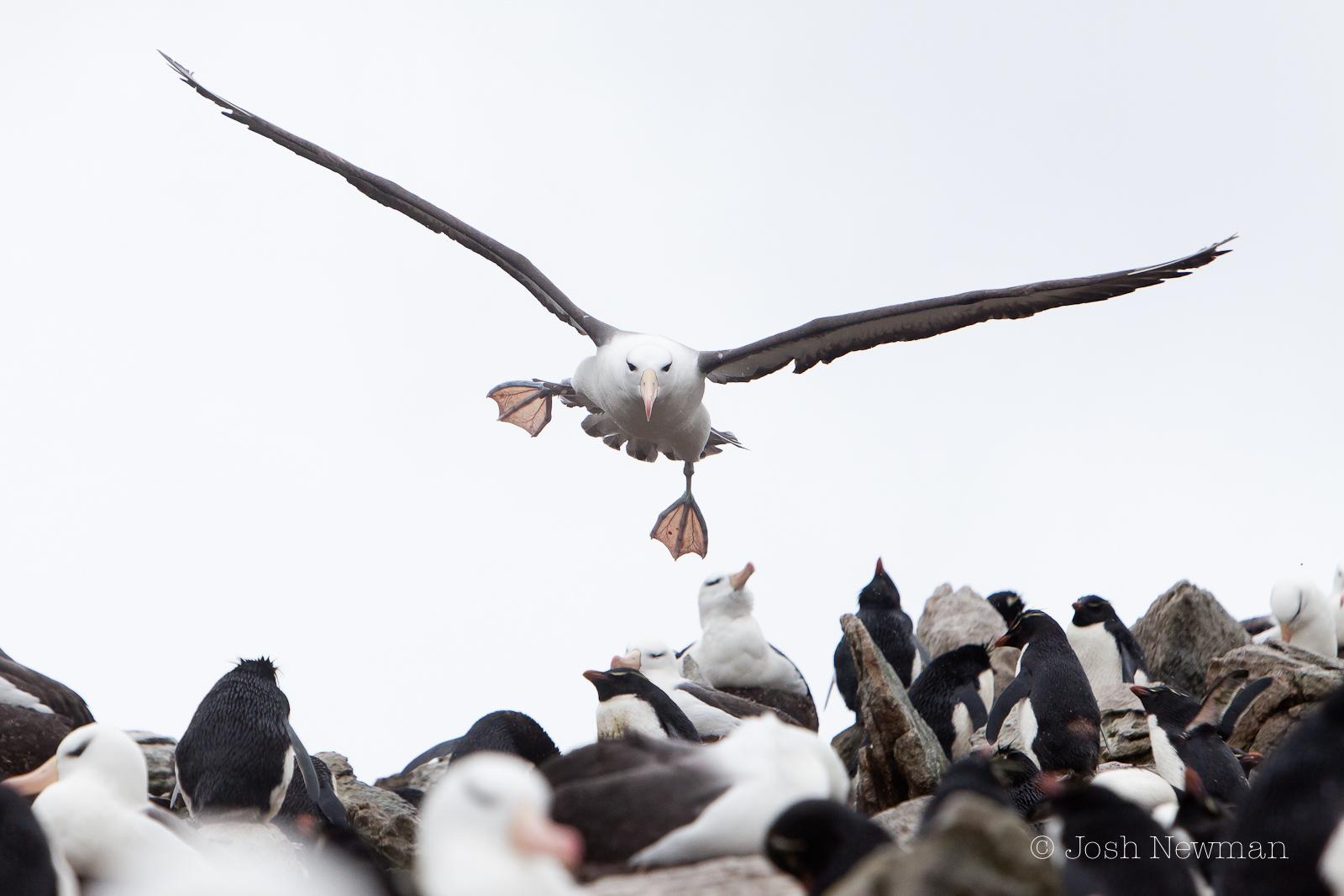 Black_Browed_Albatross