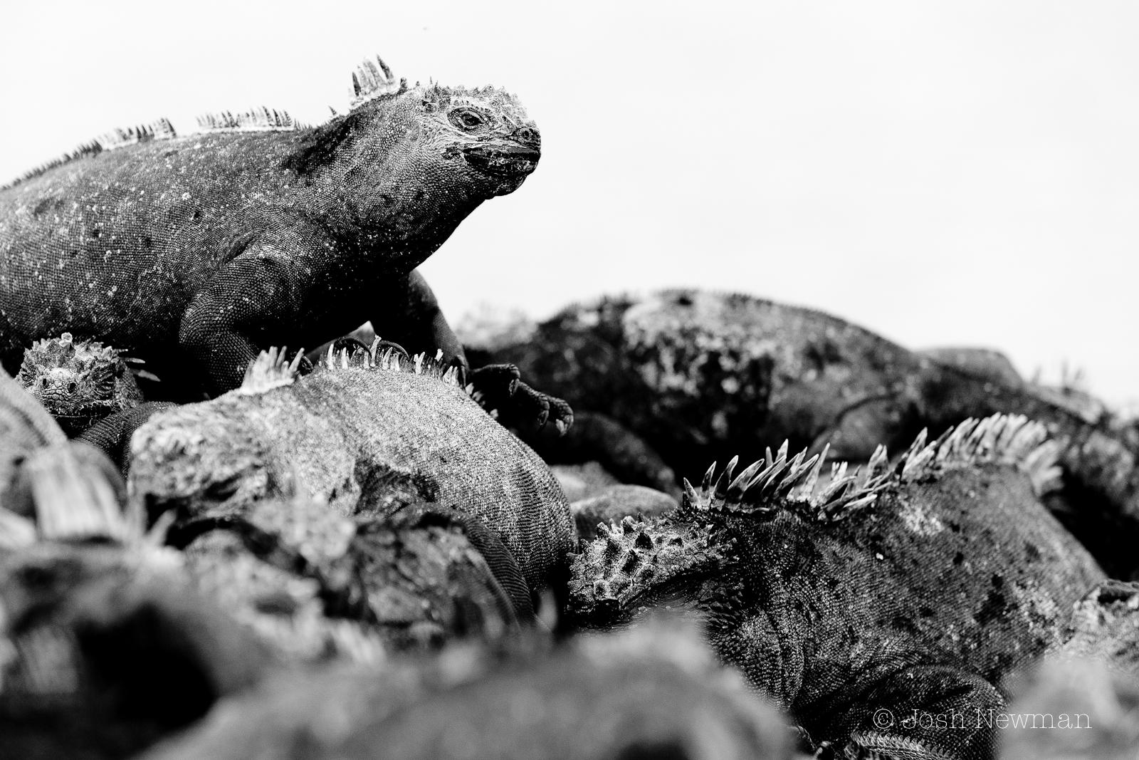 Marine_Iguana