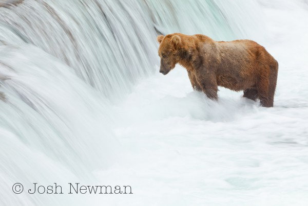 Katmai Brown Bear