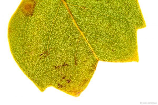 Leaves 1600-12