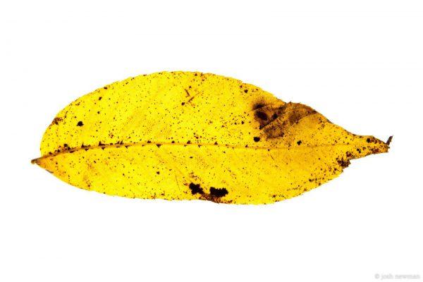 Leaves 1600-2